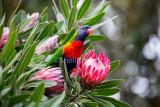 Rainbow lorikeet in protea