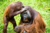 Male orang utan being preened