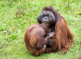 Male orang with young