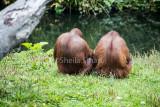 Backs of orang utans