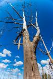 Dead gum tree