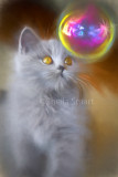 British blue kitten watches bubble