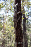Goanna up tree in Australian bushland