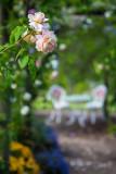 Rose at Rose Patch. Bellingen