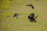 Wedgetail eagle being seen off by Australian magpies