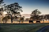 Cows at dawn at Villa Medici