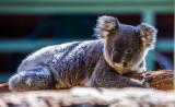 Koala lying down