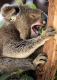 Yawning koala