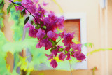 Bougainvillea painting