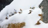 Snow Buntings - Plectrophenax nivalis