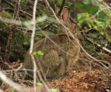 Snowshoe Hare - Lepus americanus