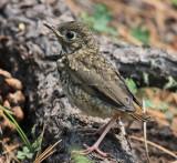 Hermit Thrush - Catharus guttatus (chick)