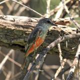 Vermilion Flycatcher - Pyrocephalus rubinus  (immature male)
