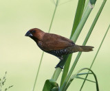 Scaly-breasted Munia - Lonchura punctulata