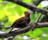 Chestnut-colored Woodpecker - Celeus castaneus
