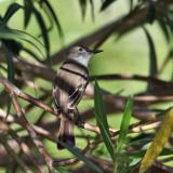 Stolid Flycatcher - Myiarchus stolidus
