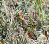 Guyana Giant Grasshopper - Tropidacis collaris