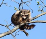 Raccoon - Procyon lotor