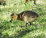 Canada Goose - Branta canadensis (gosling)