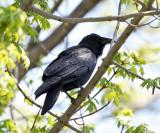 Fish Crow - Corvus ossifragus