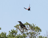 American Crow - Corvus brachyrhynchos (dive bombed by a Red-winged Blackbird)