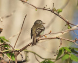 Least Flycatcher - Empidonax minimus