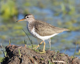 Shorebirds - genus Actitis