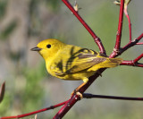 Yellow Warbler - Setophaga petechia