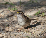White-throated Sparrow - Zonotrichia albicollis