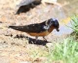 Barn Swallow - Hirundo rustica