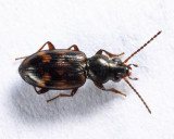 Bembidion versicolor