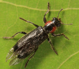 Placopterus thoracicus