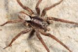 Wolf Spiders - Genus Hogna