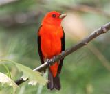 Tanagers, Cardinals & Allies
