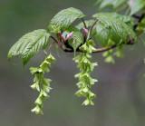 Striped Maple - Acer pensylvanicum