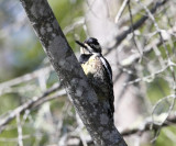 Yellow-bellied Sapsucker - Sphyrapicus varius (female)