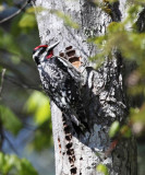 Yellow-bellied Sapsucker - Sphyrapicus varius (male)