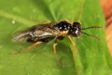 Fenusella nana