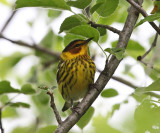 Cape May Warbler - Setophaga tigrina (male)