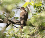Black-billed Cuckoo - Coccyzus erythropthalmus