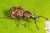 Raspberry Weevil - Otiorhynchus singularis