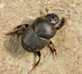 Scooped Scarab - Onthophagus hecate