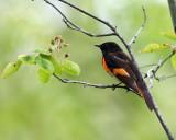 American Redstart - Setophaga ruticilla