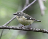 Black-throated Blue Warbler - Setophaga caerulescens (female)