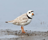 Shorebirds - genus Charadrius