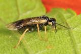 Early Birch Leaf Edgeminer - Fenusella nana