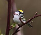 Chestnut-sided Warbler - Setophaga pensylvanica