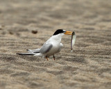 Least Tern - Sternula antillarum