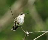 Ruby-throated Hummingbird - Archilochus colubris (female)