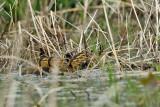 Mallard - Anas platyrhynchos (ducklings)